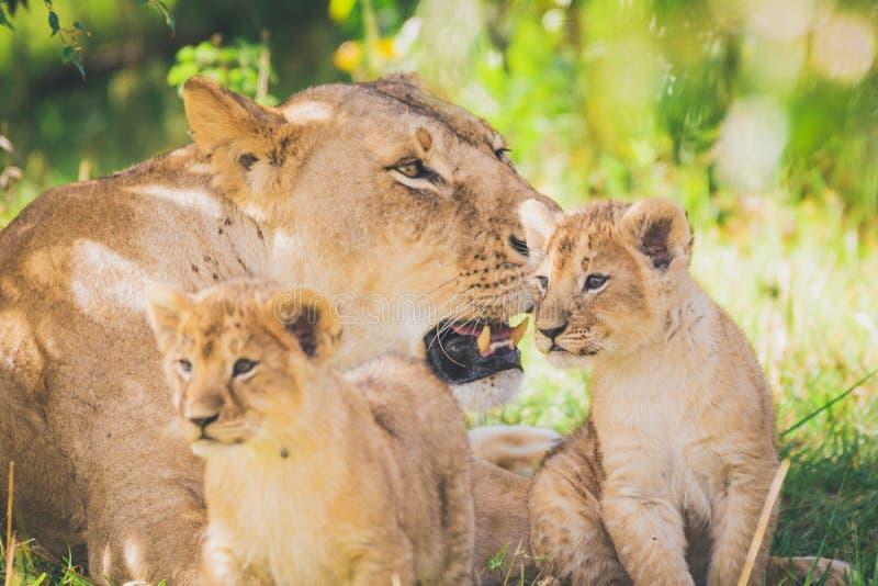Leona y Cubs en ?frica foto de archivo