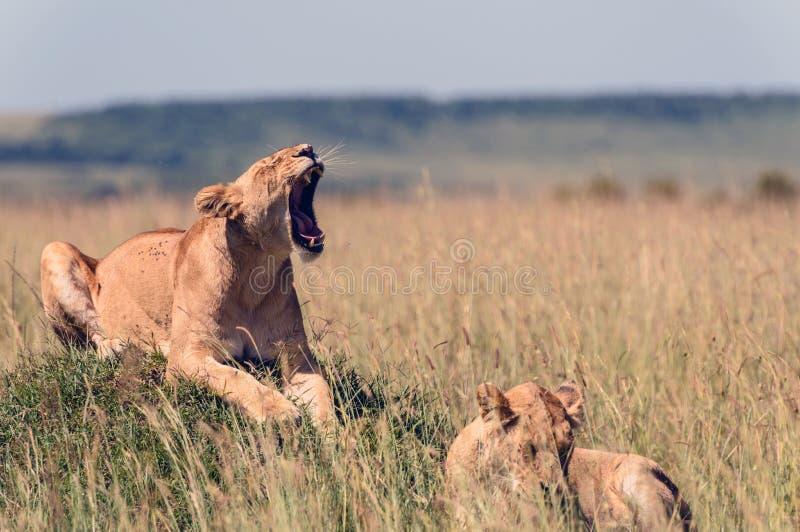 Leonas en la sabana africana fotografía de archivo