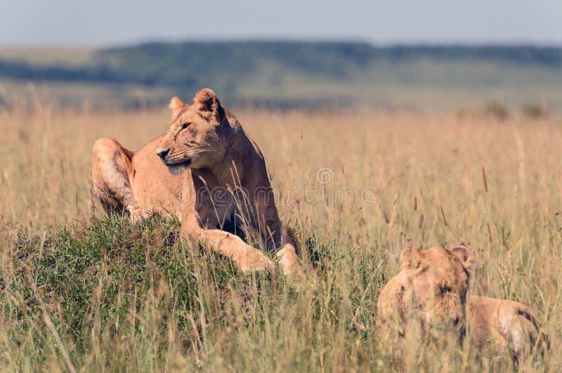 Leonas en la sabana africana imagenes de archivo