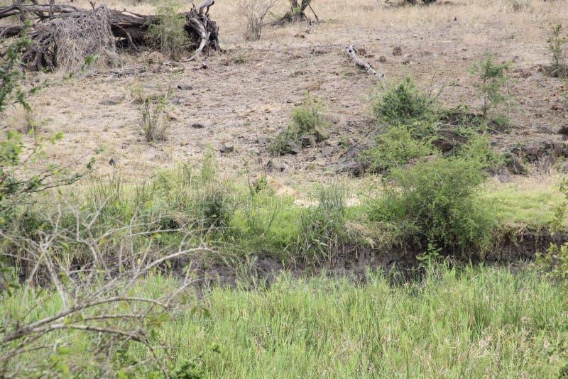 Leonas que ocultan en el arbusto africano de la sabana, parque nacional Suráfrica de Kruger fotografía de archivo libre de regalías