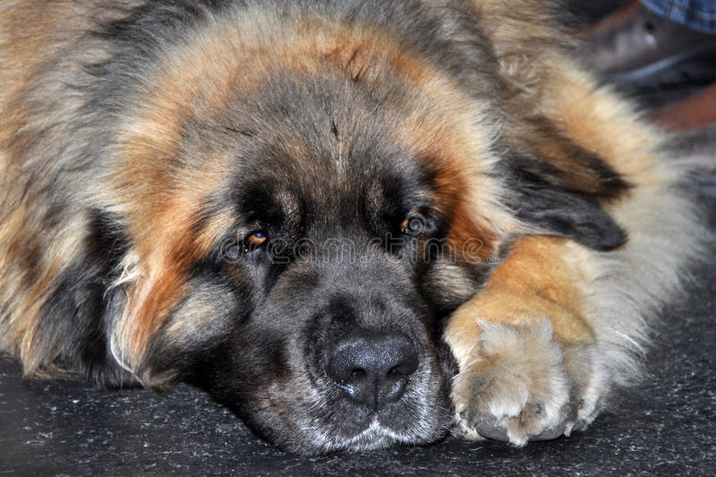 Download Leonberg dog stock image. Image of dream, happy, animal - 39513309