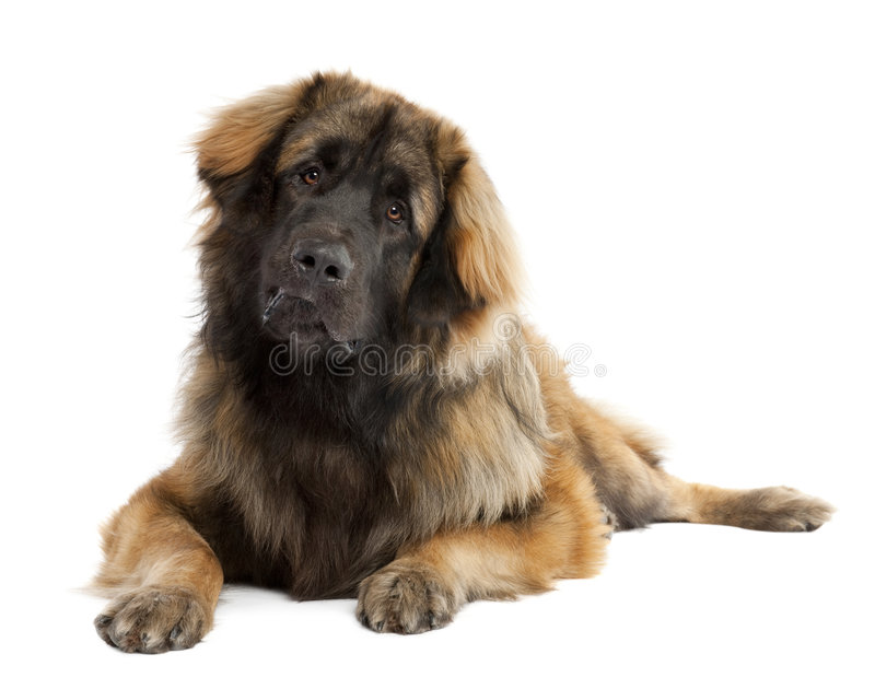 Leonberger (10 mois) photo stock