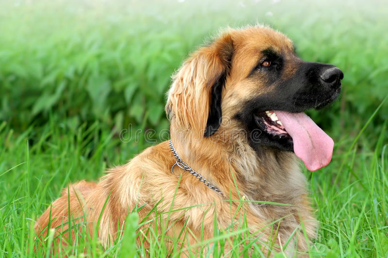 Leonberger imagens de stock royalty free