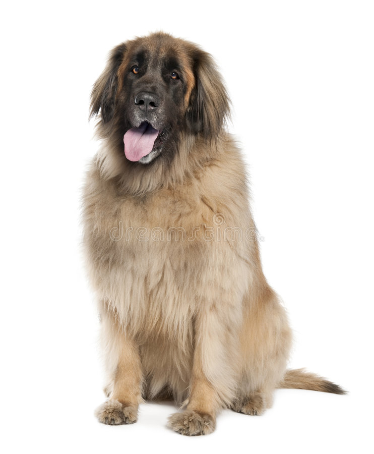 Leonberger( 6 years old ) stock images