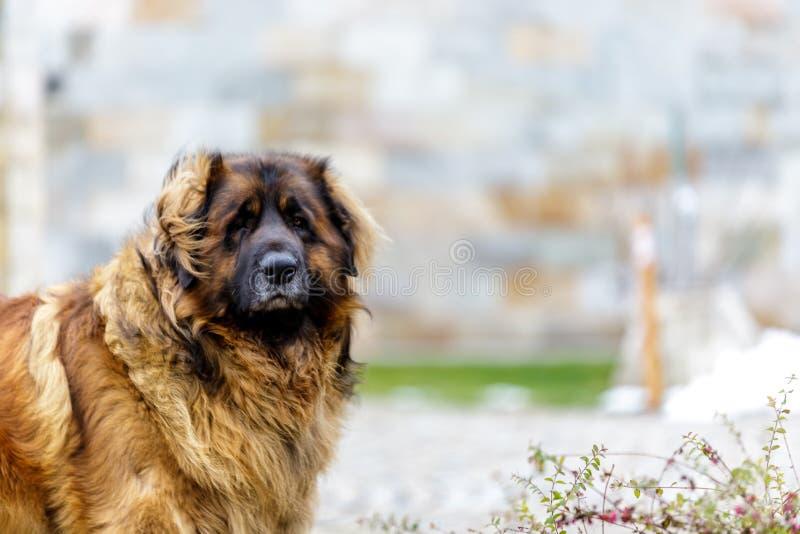 leonberger hond die camera onderzoeken Sluit omhoog stock fotografie