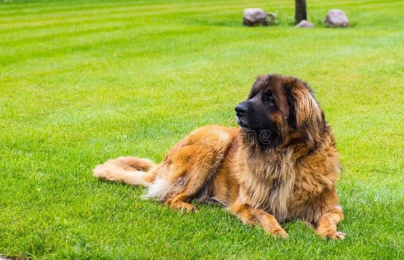 leonberger hond die in tuin in het groene gras liggen Sluit omhoog royalty-vrije stock afbeeldingen