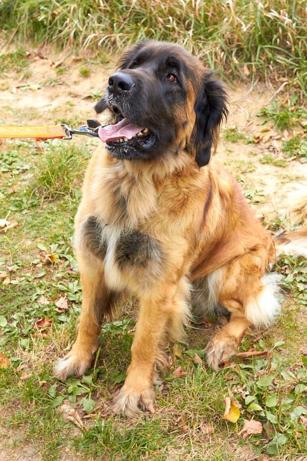Leonberger Hondras Leonberger De hondgangen in aard Een groot dier loopt door het hout De rassen Leonberger van de huisdierenhond royalty-vrije stock fotografie