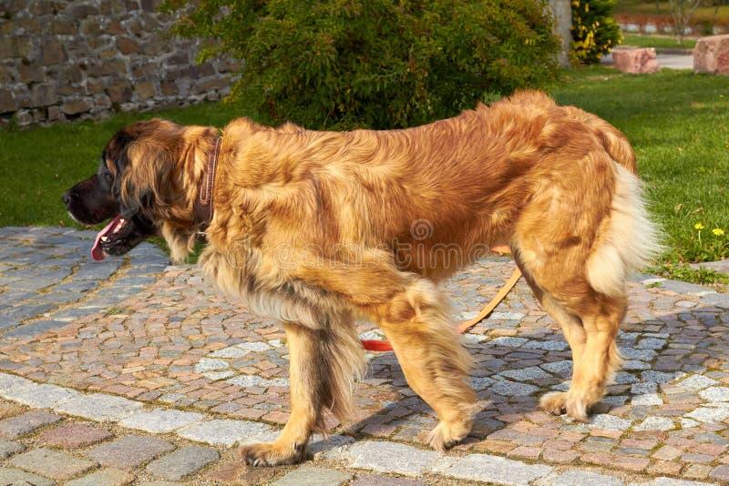 Leonberger Hondras Leonberger De hondgangen in aard Een groot dier loopt door het hout De rassen Leonberger van de huisdierenhond royalty-vrije stock afbeelding