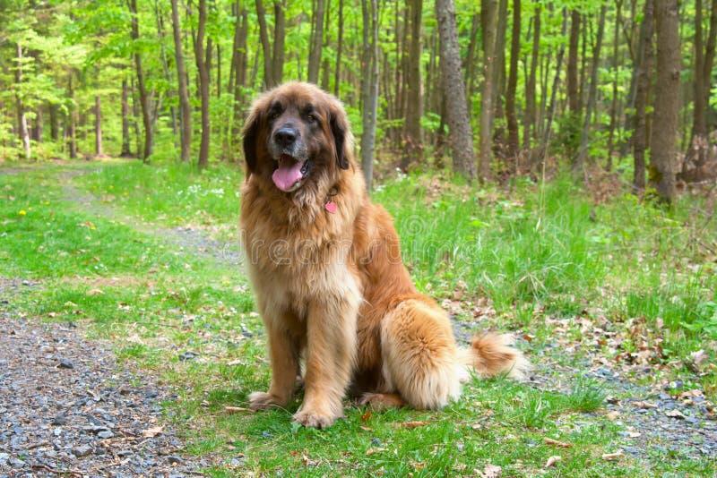 Leonberger Hund lizenzfreie stockfotografie