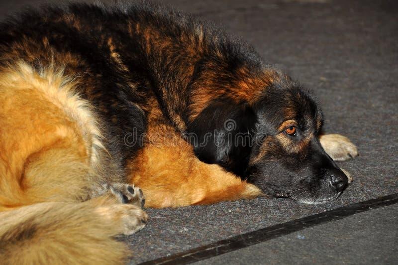 Leonberger puppy dog stock photography