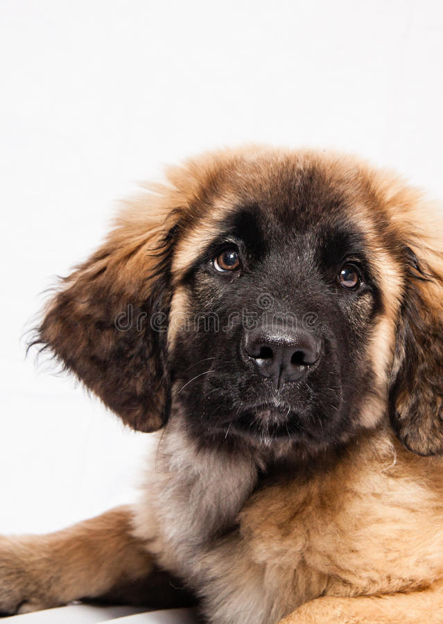 Leonberger puppy lying down royalty free stock photo