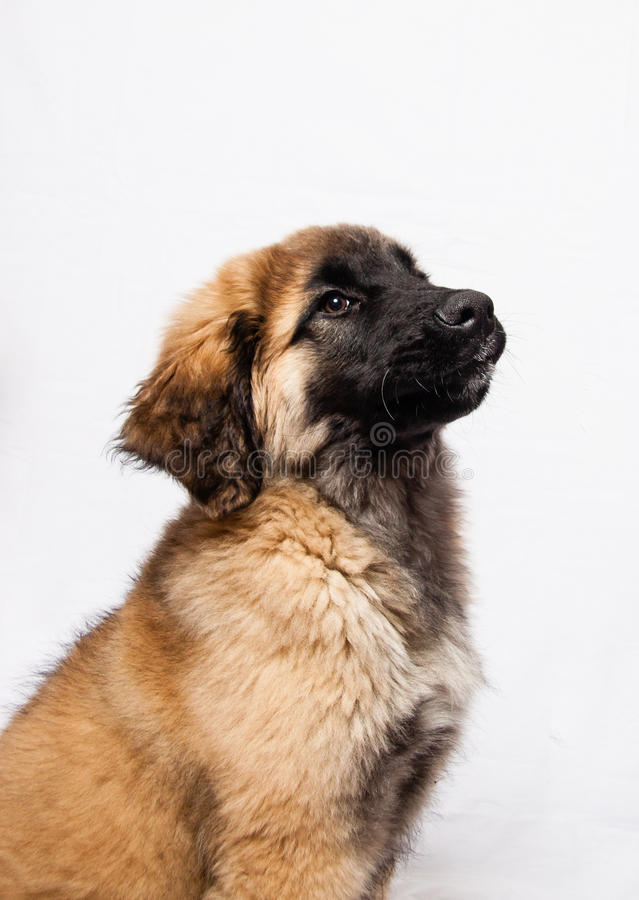 A Leonberger puppy royalty free stock images