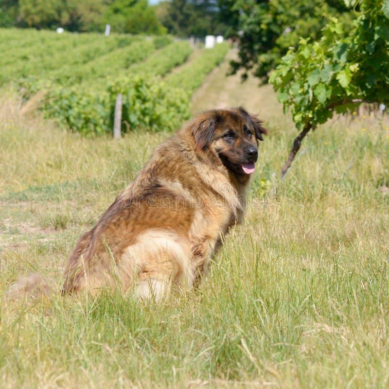 Leonbergerhond die in wijngaard lopen royalty-vrije stock fotografie