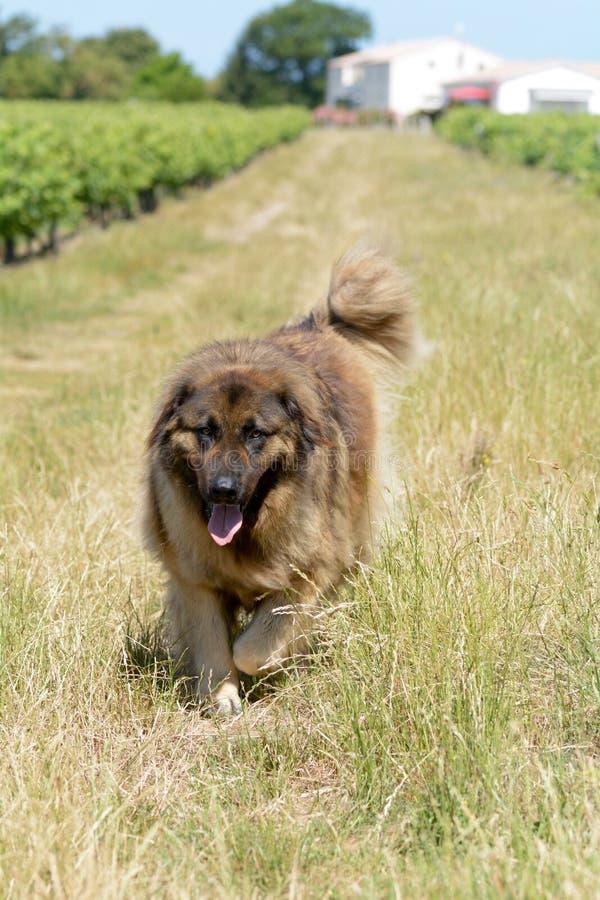 Leonbergerhond die in wijngaard lopen stock foto's