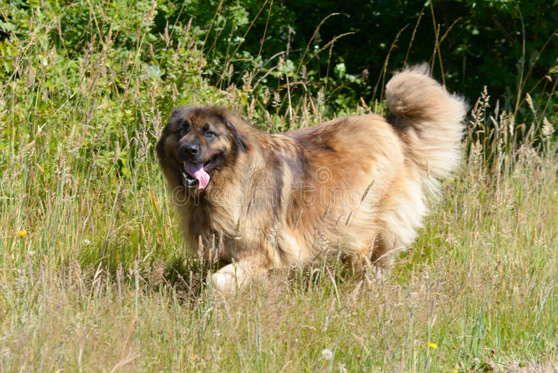 Leonbergerhond die in wijngaard lopen royalty-vrije stock afbeelding