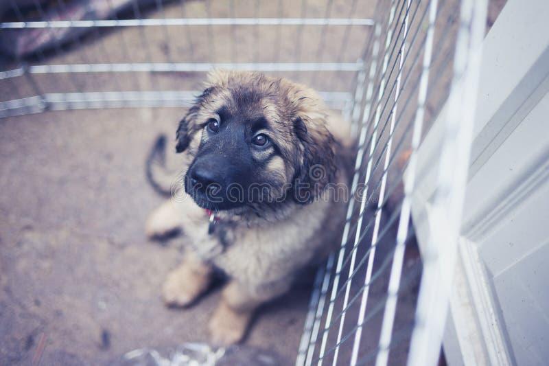 Leonbergerpuppy in kennel buiten royalty-vrije stock foto