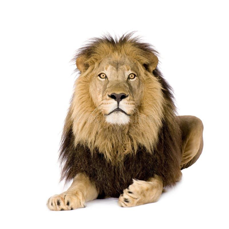 Leone (4 e una metà di anni) - Panthera leo fotografia stock libera da diritti