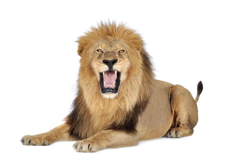 Leone (8 anni) - Panthera leo fotografie stock