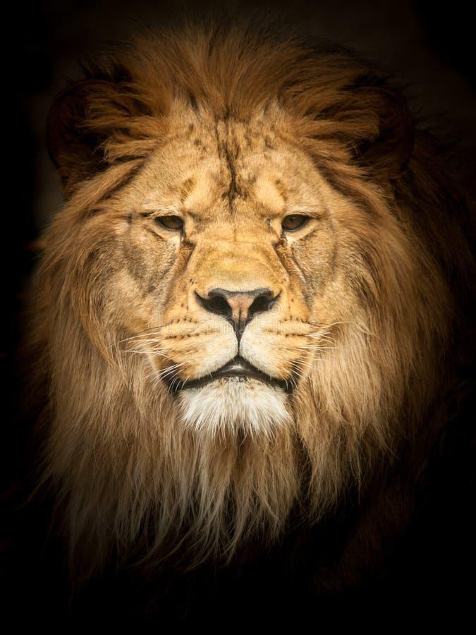 Leone adulto nello scuro Ritratto di grande animale africano pericoloso Effetto scuro immagini stock libere da diritti