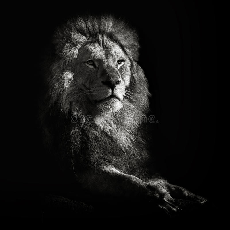 Leone africano fotografie stock libere da diritti