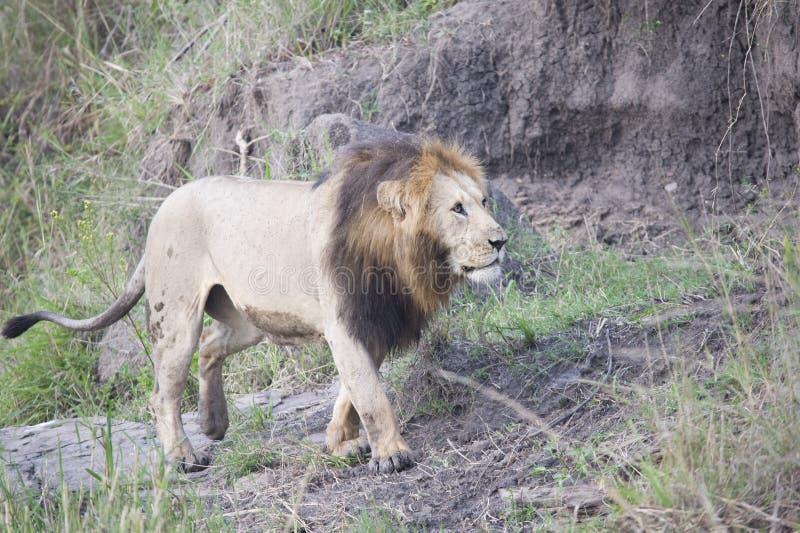 Leone africano che sembra potente nella sua terra di orgoglio in Africa immagine stock