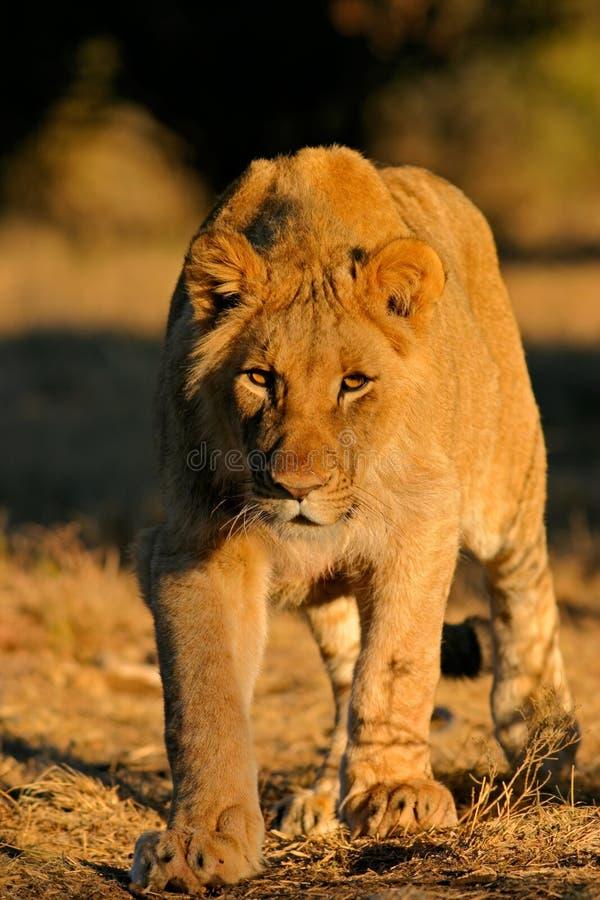Leone africano d'inseguimento fotografie stock