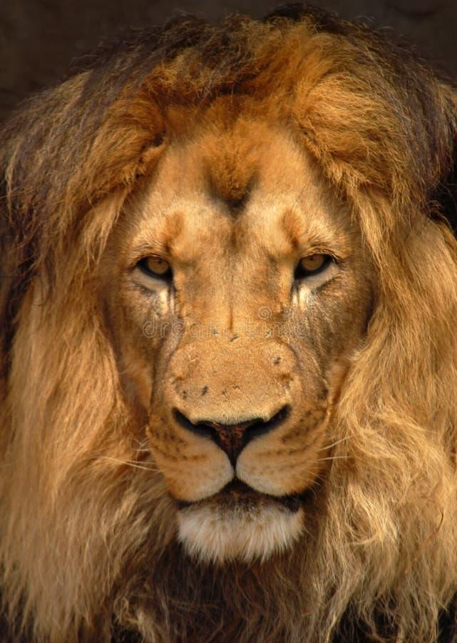 Leone africano di Barbary; Panthera Leo: Vista del ritratto. fotografia stock