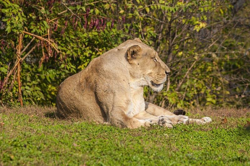 Leone africano, mettente su erba, fauna selvatica immagini stock