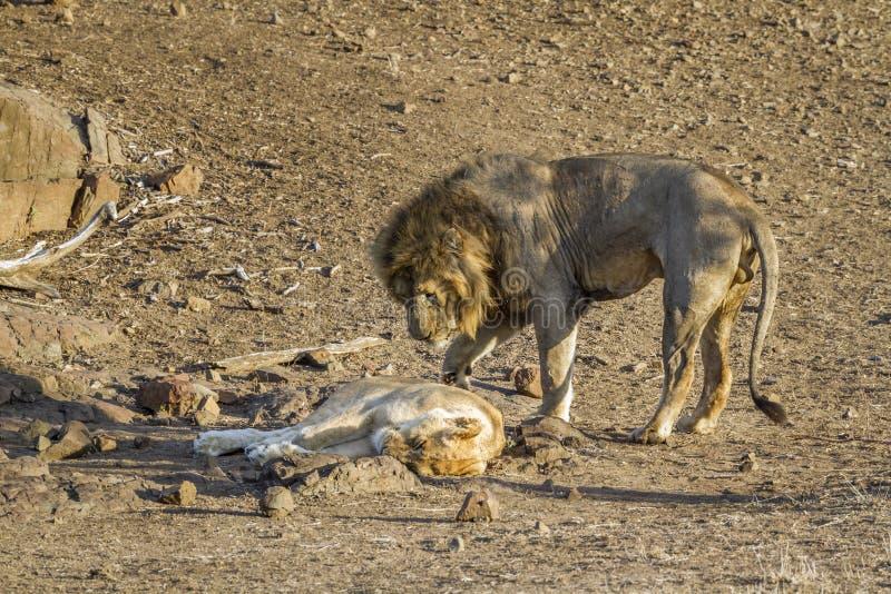 Leone africano nel parco nazionale di Kruger, Sudafrica fotografia stock