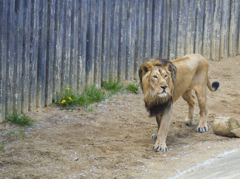 Leone asiatico maschio adulto, persica di Leo della panthera, camminante nel suo paddoc, fondo del muro di cemento Il re delle be fotografia stock libera da diritti