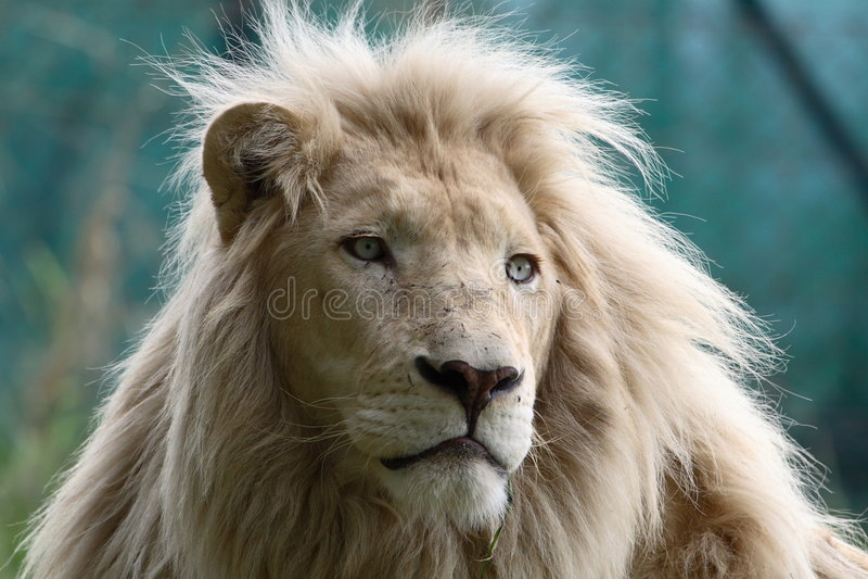 Leone bianco fotografia stock libera da diritti