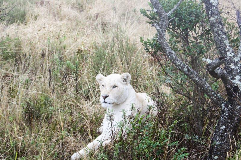 Leone bianco immagini stock