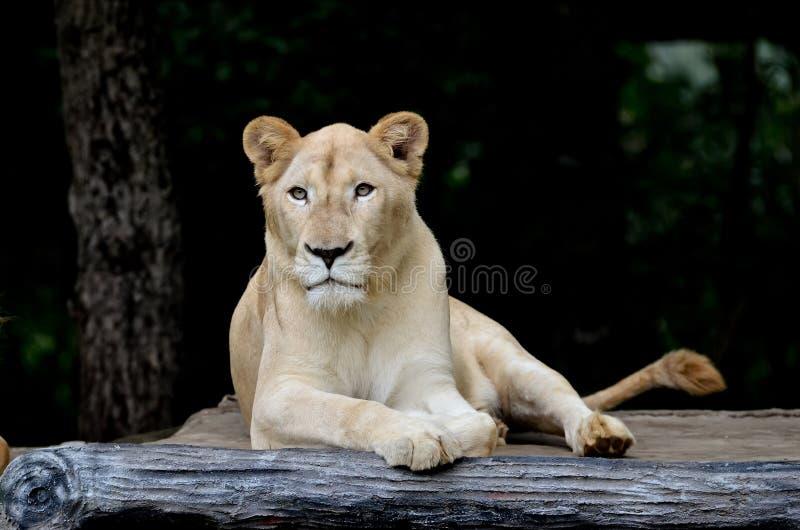 Leone bianco femminile fotografie stock