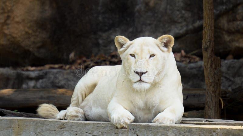 Leone bianco femminile fotografia stock libera da diritti
