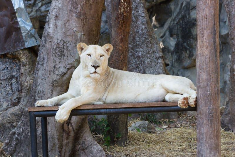 Leone bianco femminile in zoo fotografia stock libera da diritti