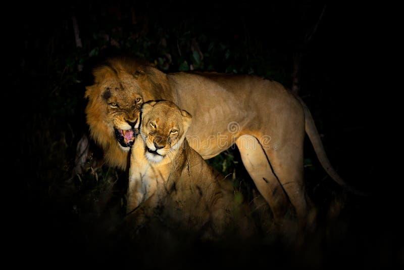 Leone, bleyenberghi di Leo della panthera, scena accoppiamento di azione nel parco nazionale di Kruger, Africa Comportamento anim fotografia stock
