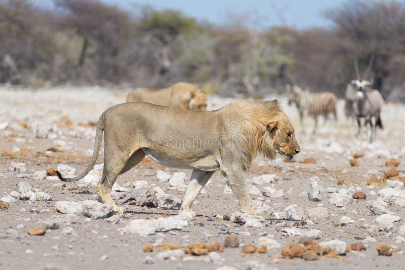 Leone che cammina nel cespuglio, nella zebra e nell'orice defocused nei precedenti Safari nel parco nazionale di Etosha, Namibia, fotografia stock libera da diritti