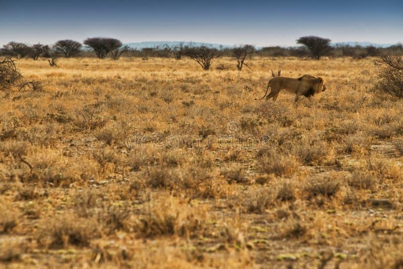 Leone che cammina sulla savana africana Con la luce di tramonto, vista laterale nafta l'africa fotografie stock libere da diritti