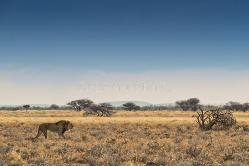 Leone che cammina sulla savana africana Etosha nafta fotografia stock