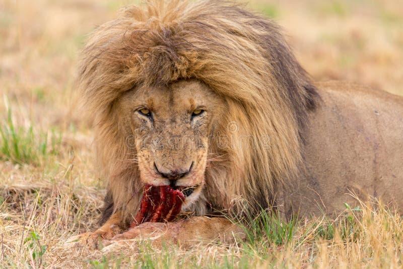Leone che mangia nel parco nazionale di Kruger immagini stock