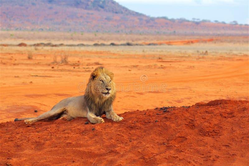 Leone che si trova nel parco nazionale Africa di Tsavo fotografie stock