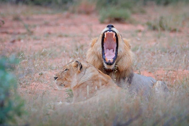 Leone con la museruola aperta Ritratto delle coppie i leoni africani, panthera Leo, dettaglio di grandi animali, parco nazionale  fotografie stock libere da diritti