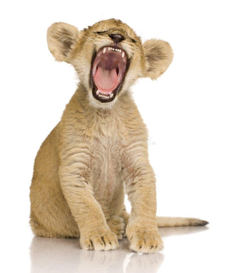 Leone Cub (3 mesi) immagine stock