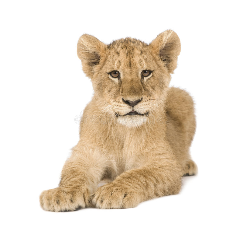 Leone Cub (4 mesi) fotografie stock