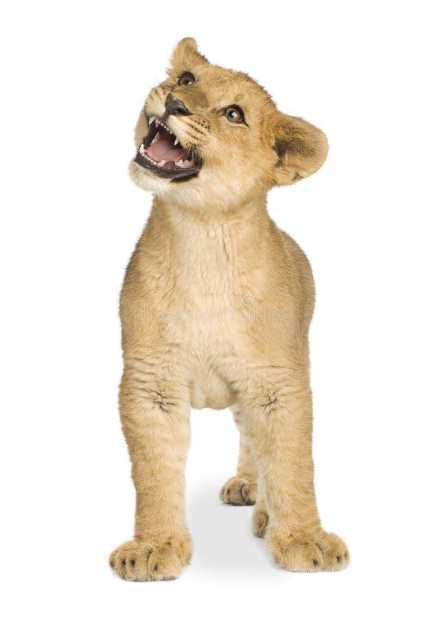 Download Leone Cub (5 mesi) immagine stock. Immagine di creatura - 3885583
