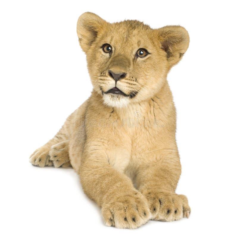 Download Leone Cub (5 mesi) fotografia stock. Immagine di gatti - 3885724