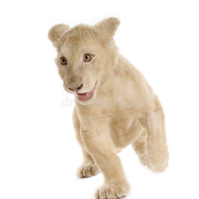 Leone Cub bianco (5 mesi) immagine stock libera da diritti