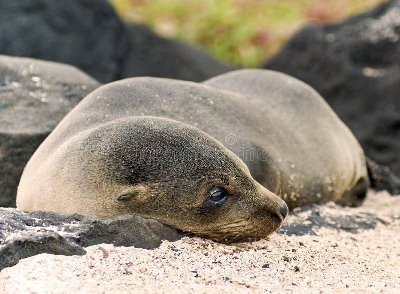 Leone Cub del mare immagine stock