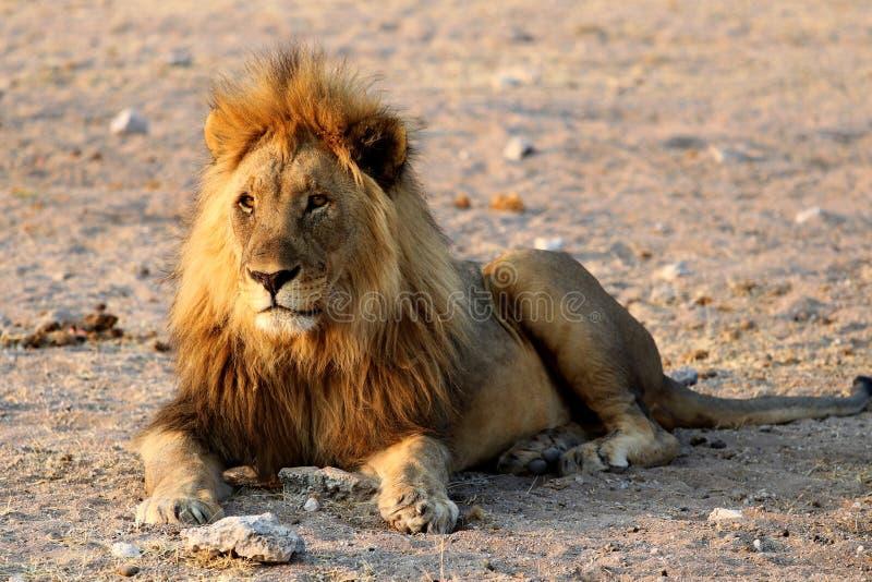 Leone del safari - Namibia Africa fotografie stock libere da diritti