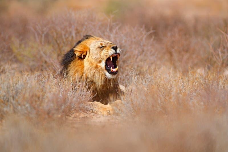 Leone della criniera del nero di Kgalagadi con la museruola aperta con il dente Ritratto delle coppie i leoni africani, panthera  immagine stock